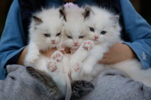 Three little white cats.