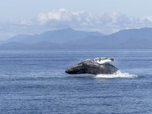 A humpback whale is a common sighting in Kihei.