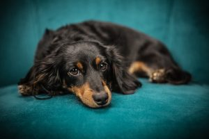 Cute black dog on a blue sofa lying thinking about how moving from Hawaii with pets will go