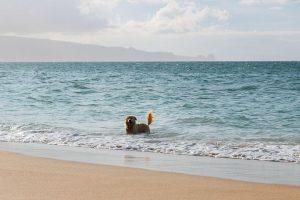 A golden retriever in the ocean